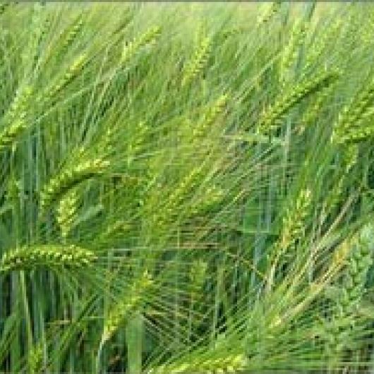 Barley cover crop