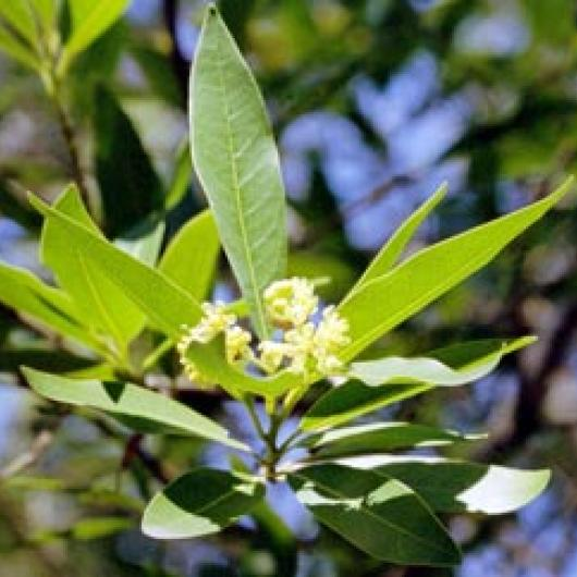 California bay laurel is a native tree that often grows near creeks