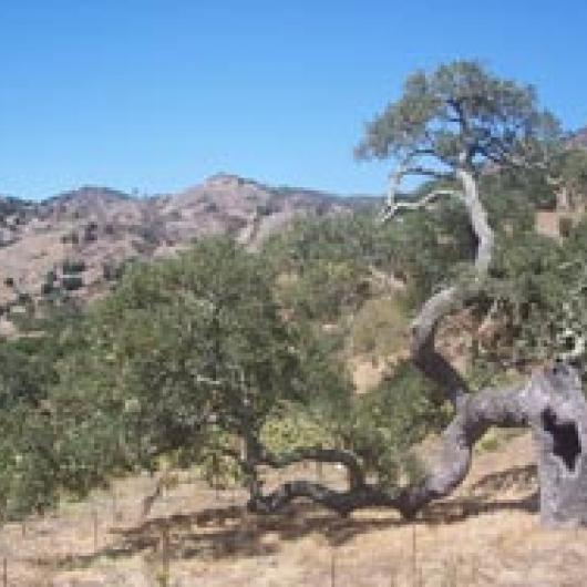 Blue oaks, on a hillside in the Stags Leap  District, are highly resistant to drought