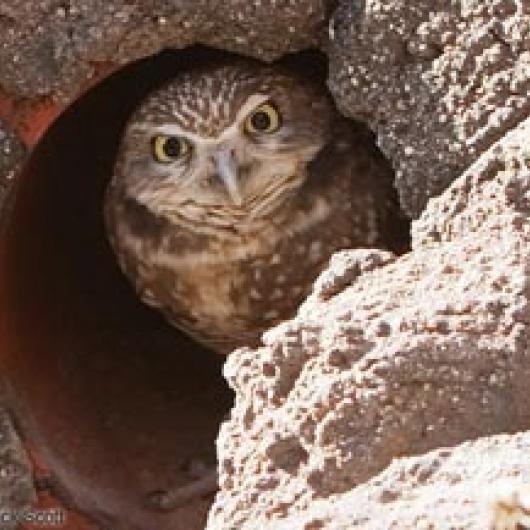Green Island Vineyard helps to create habitat for burrowing owls