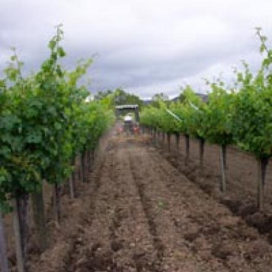 Dry-farmed vineyard