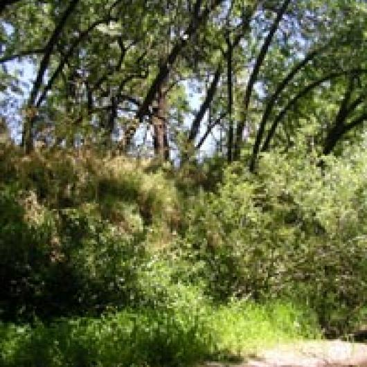 Dense riparian vegetation of the Napa River bordering the Franciscan Oakville site.