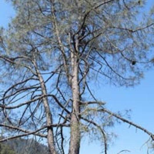 Grey pines are common on the eastern  side of the Napa River watershed