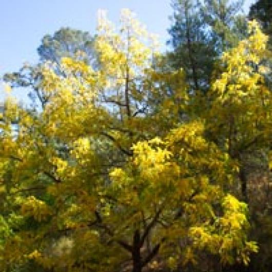 California walnut shows fall colors