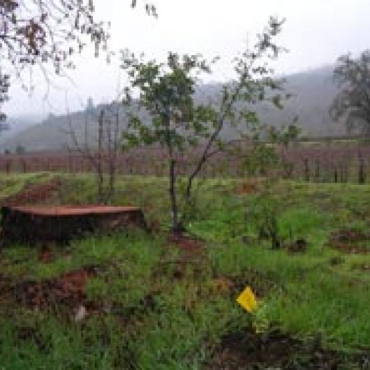 Native live oak seedling grows after invasive,  non-native eucalyptus (trunk) is removed