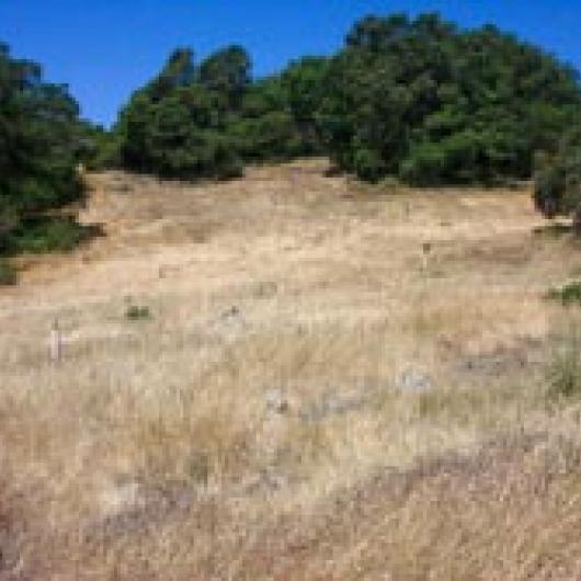 Oak revegetation project on hillside at Hudson Vineyards