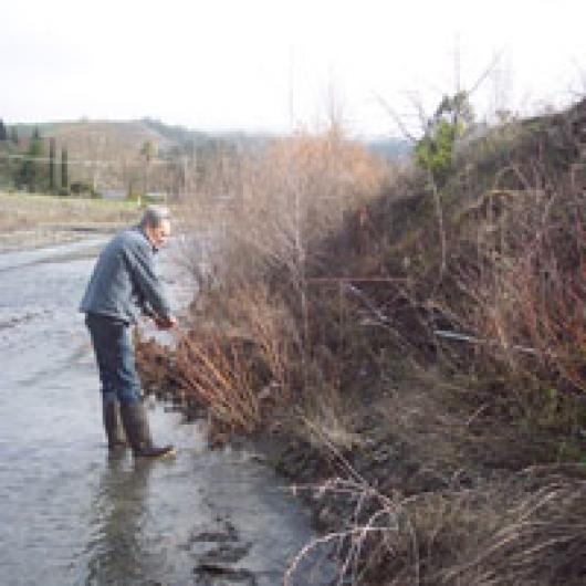 Vineyard manager Al White plants willows and alders to protect the banks of Morrison Creek, a steelhead stream.
