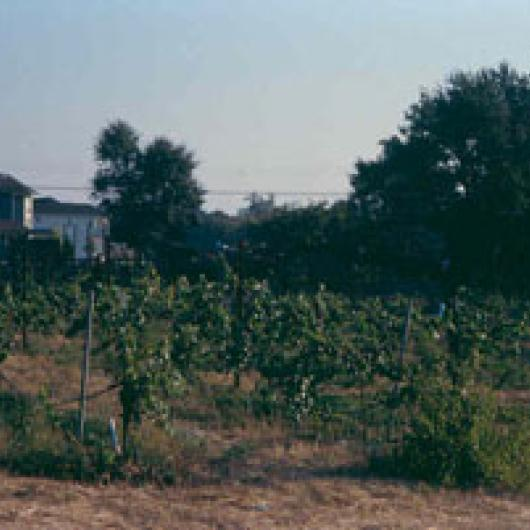 The Coster vineyard