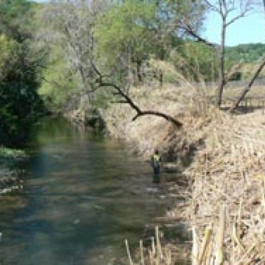 Arundo donax removal along Suisun Creek