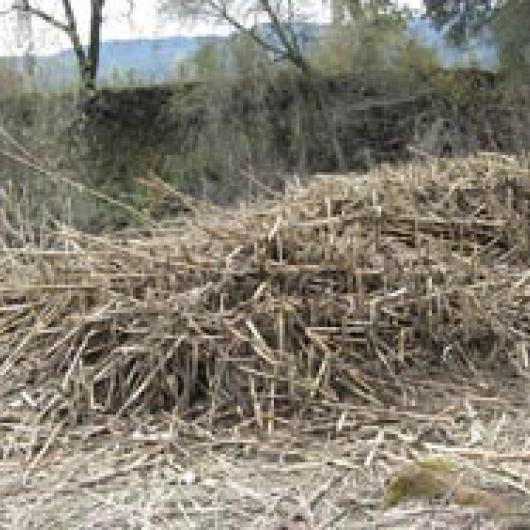 Cut Arundo clump along the Napa River
