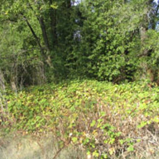 Invasive nonnative plants will be removed from the riparian corridor at the Summerhome park vineyard