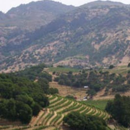Terraced vineyards of Pine Ridge Winery