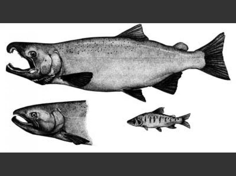 Coho salmon (Oncorhynchus kisutch)