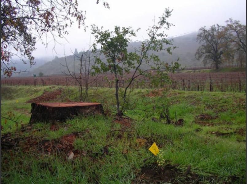 Stump of invasive eucalyptus cut to allow for native plant restoration with live oak seedling germinating after cut.