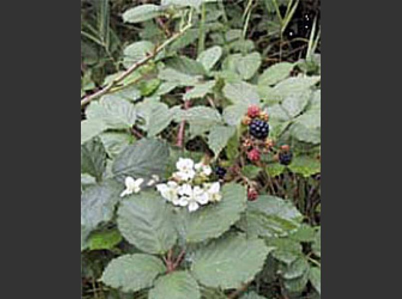 Invasive non-native Himalayan blackberry