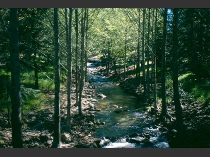 White alders line lower Rockaway Creek