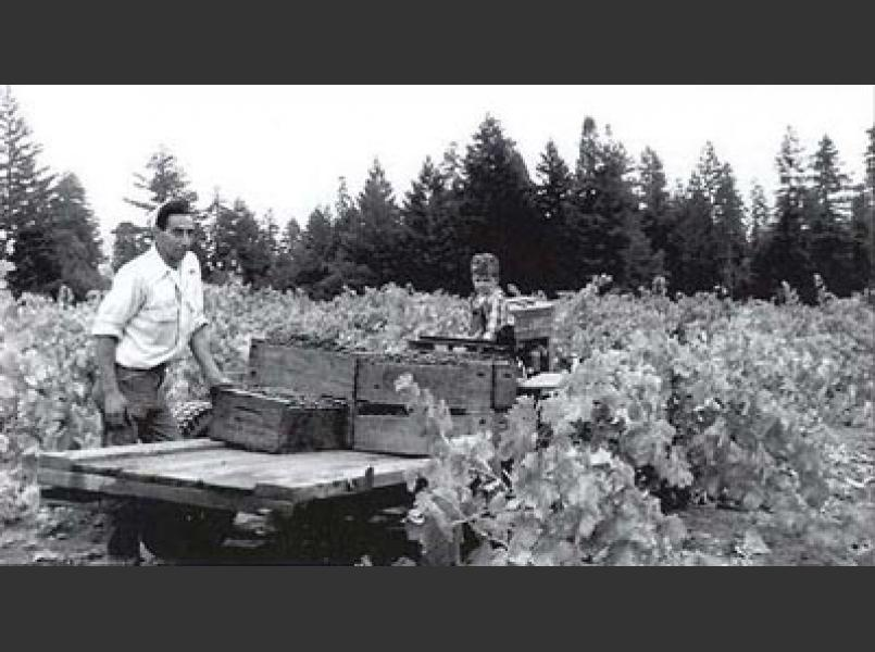 Grape harvest in 1957