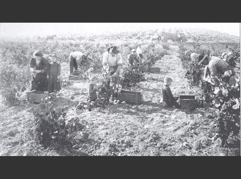 Grape harvest in 1925