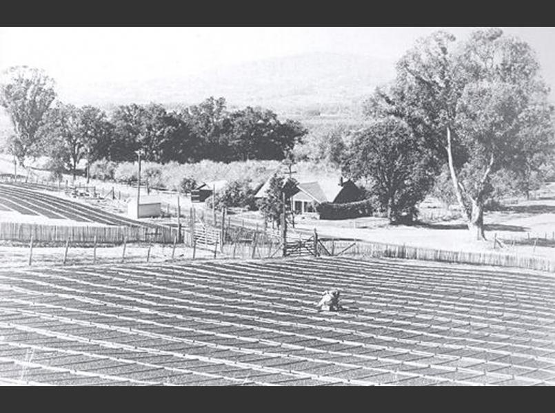 Prunes drying in the sun at the Hotchkiss ranch on Eastside Road in 1900