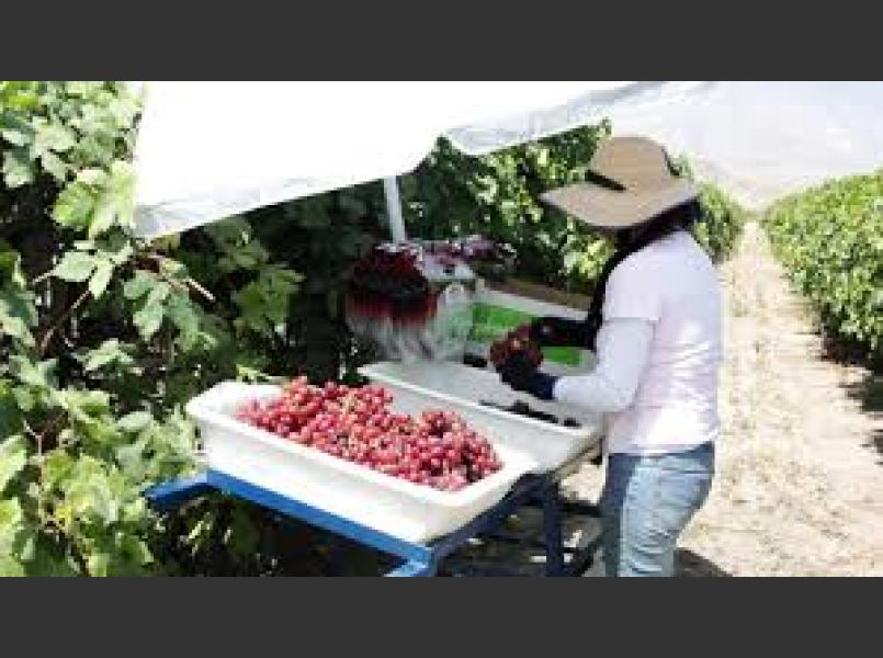 Picking and Packing Table Grapes in Kern County