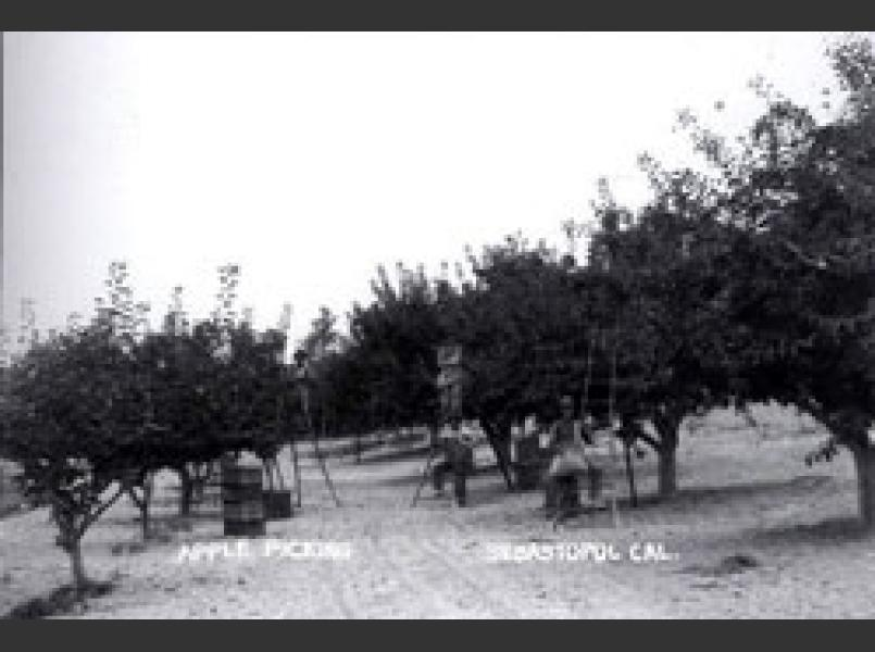 Apple orchard in Sebastopol