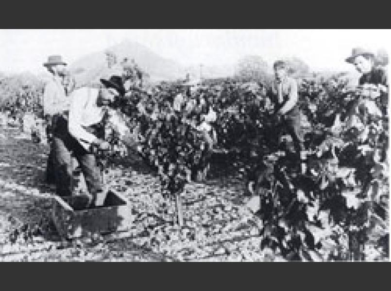 Grape harvest in 1900 in Dry Creek Valley