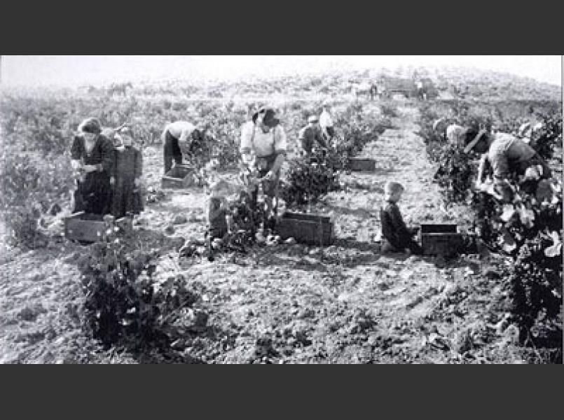The grape harvest was a family affair