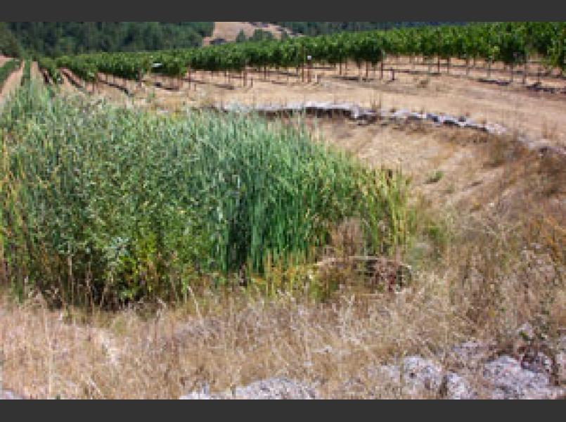 Vineyards are now developed and managed to reduce soil erosion as seen here where a sediment basin sits down slope of a vineyard.