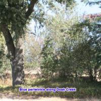 Blue periwinkle along Doak Creek