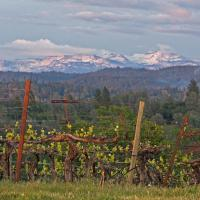Foothill Vineyard with Sierra Peaks in the Background