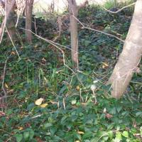 Blue periwinkle creates an understory that keep native trees seedlings from growing