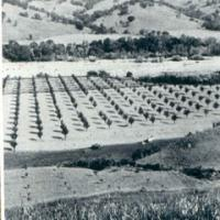 Alexander Valley in the 1800s hosted orchards and dairies. A very wide Russian River corridor is seen in the background