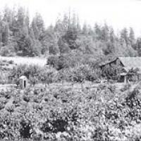 Vineyard on Greenwood Ridge in 1930s when total acres exceeded 200. Prohibition and several severe frost events in the 1940s wiped out all but three vineyards.