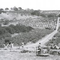 J. Pedroncelli Vineyard in 1934