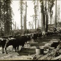 1800s logging of redwoods in the Russian River.