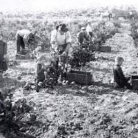 The grape harvest was a family affair